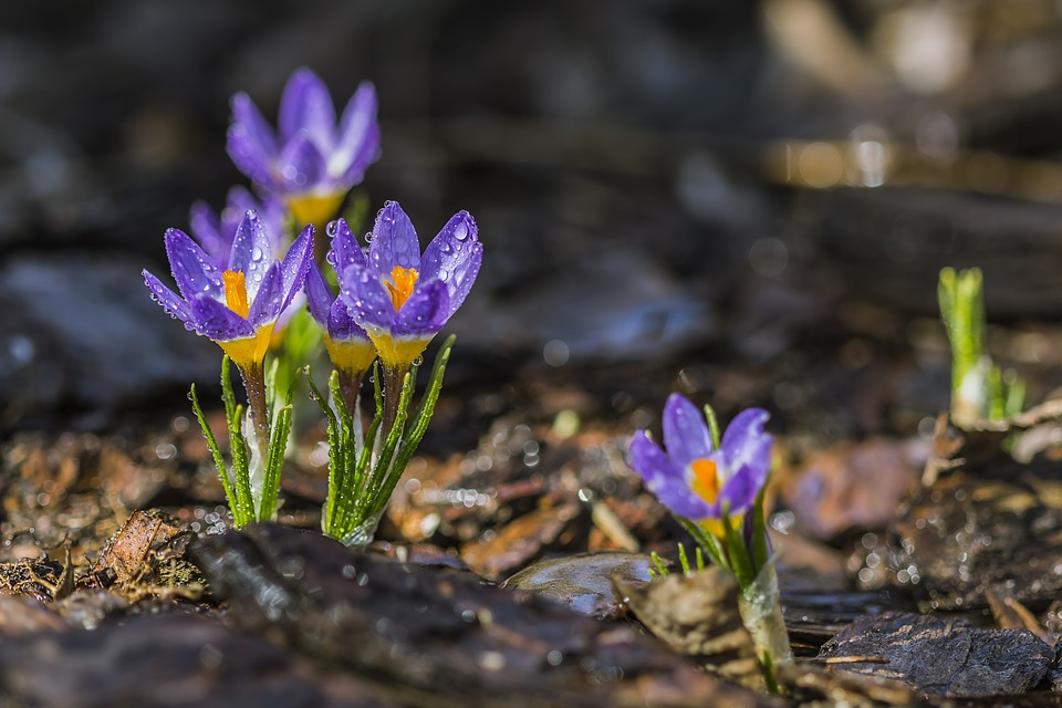 purple-crocus-1280428_960_720